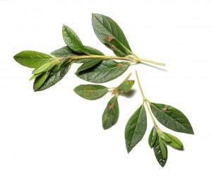 Azalea leafminer damage