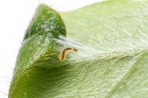 Larva spinning silk