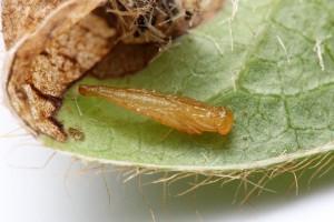 Parasitoid pupa