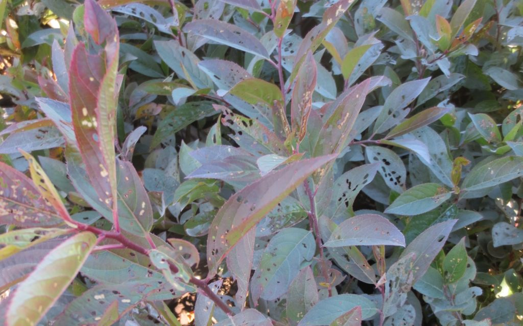 Red-headed flea beetle damage on leaves