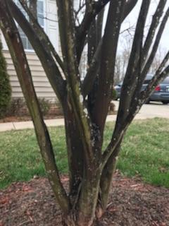 Crape Myrtle bark scale on tree