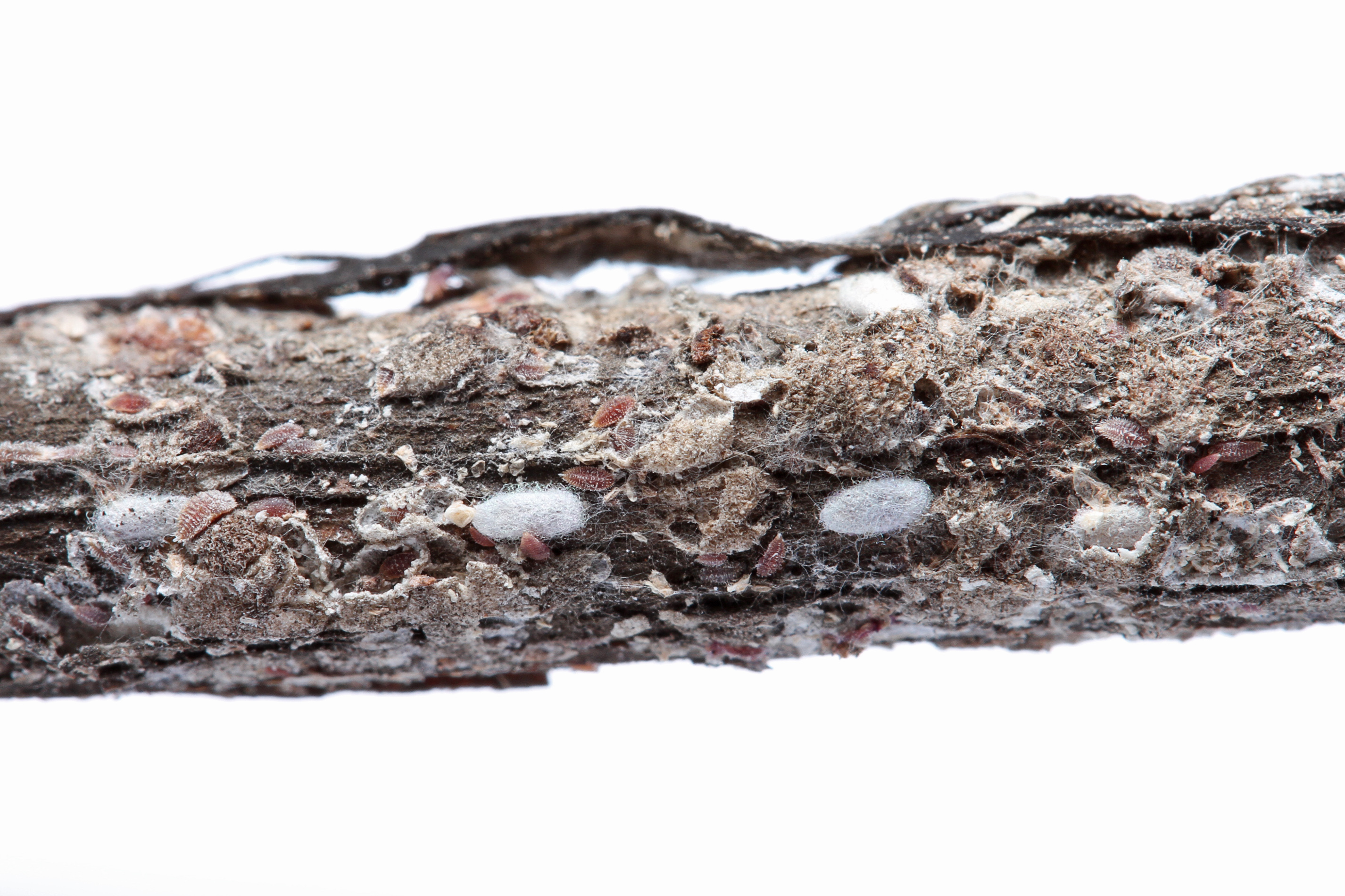 Crapemyrtle bark scale on twig