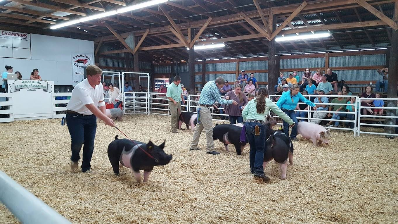 showing pigs at livestock show