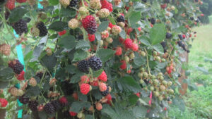 Raspberries and blackberries ripening on trellises as part of NC State University research and Extension efforts.