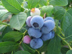 Cover photo for Growing Blueberries in the Home Garden