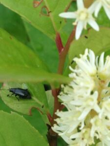 Cover photo for Red-Headed Flea Beetle Management in Container Nursery Production